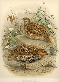 NZ Quails.jpg