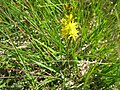 Narthecium ossifragum. Llafn y bladur. Bog asphodel - geograph.org.uk - 499696.jpg