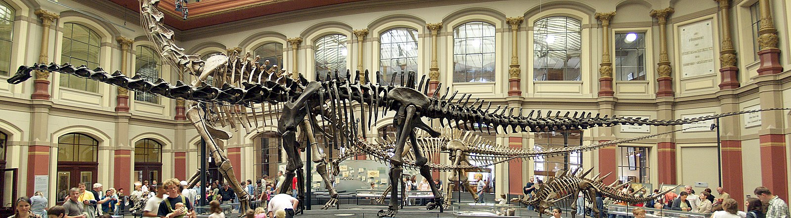Fossilized skeleton of Diplodocus carnegii, showing an extreme example of the backbone that characterizes the vertebrates. Naturkundemuseum Berlin - Dinosaurierhalle.jpg