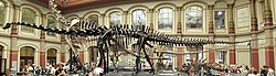 Fossilized skeleton of Diplodocus, showing an extreme example of the backbone that characterizes the vertebrates