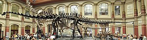 Vertebrate - Fossilized skeleton of Diplodocus carnegii, showing an extreme example of the backbone that characterizes the vertebrates.