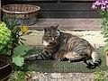Neckargemünd - Dilsberg - getigerte Katze vor Hauseingang zwischen Blumen.JPG