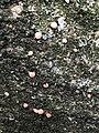 Nectria cinnabarina 58929708.jpg