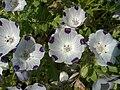 Nemophila maculata Täpläsievikki C H5663.jpg