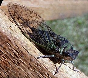 Cicadomorpha — Wikipédia