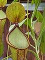 Nepenthes spathulata (3), exhibition in Botanical garden Brno.JPG
