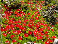 Nertera granadensis on Cerro de la Muerte.JPG