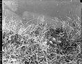 Nest and eggs of white-rumped sandpiper (68984).jpg