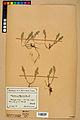 Neuchâtel Herbarium - Alyssum alyssoides - NEU000021928.jpg