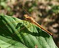Neurothemis intermedia. female - Flickr - gailhampshire.jpg