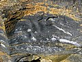 New Albany Shale (Upper Devonian; MacDonald Knob Outcrop, Bullitt County, Kentucky, USA) 6 (32030798248).jpg