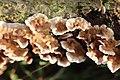 Nieuw Leeuwenhorst - Eikenbloedzwam (Stereum gausapatum?) v1.jpg