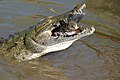 Nile Crocodile (Crocodylus niloticus) trying to swallow a big Tilapia (Oreochromis sp.)... (16224665683).jpg