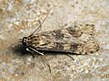 Nomophila noctuella - Rush veneer - Огнёвка совковидная (26972328458).jpg
