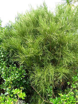 Carmichaelia - North Island broom, Carmichaelia aligera