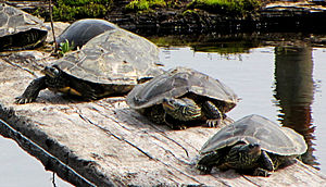 Northern map turtle - Five sunning with a midland painted turtle, Ottawa, Ontario