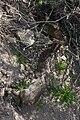 Northern Pacific Rattlesnake eats rabbit 18 March 2010.jpg