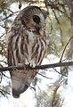 Northern Saw-whet Owl (31929467455).jpg