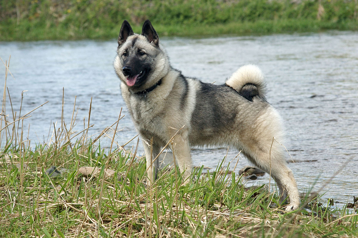 Norwegian Elkhound 1.jpg