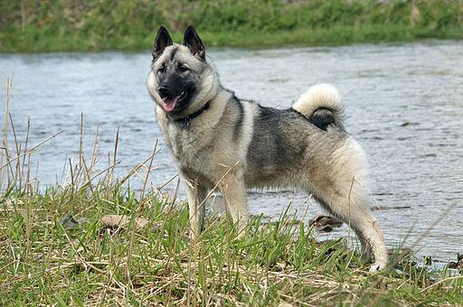 Norwegian Elkhound 1
