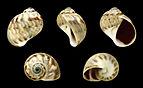 Notocochlis chemnitzii 01.JPG