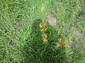 Nov Nature reserve - Asphodeline Lutea (4).jpg
