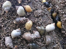 How do i plan my coursework on dogwhelks?
