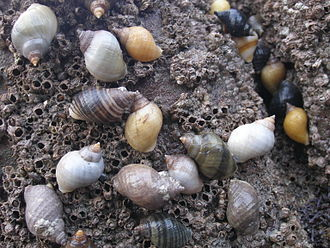Dog whelk - A group of live Nucella lapillus on the barnacles which they eat.
