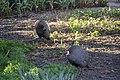 Numida meleagris damarensis - Pintade de Numibie 03.jpg