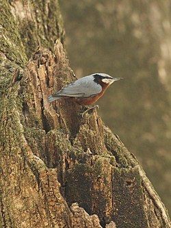 Nuthatch by Davidraju (cropped).jpg