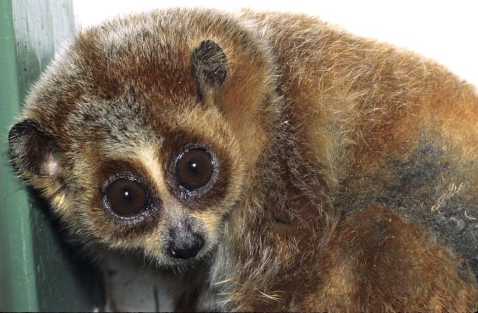 Nycticebus pygmaeus 001