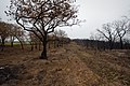 Oak trees that where severely damaged in a wildfire that occurred three weeks earlier. (25085330696).jpg