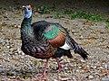 Ocellated Turkey (Agriocharis ocellata) (8296433603).jpg
