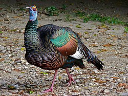Ocellated Turkey (Agriocharis ocellata) (8296433603).jpg