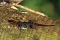 Ocellated gecko (Gonatodes ocellatus) male LTo.JPG