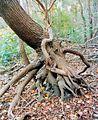 Odd tree roots.jpg
