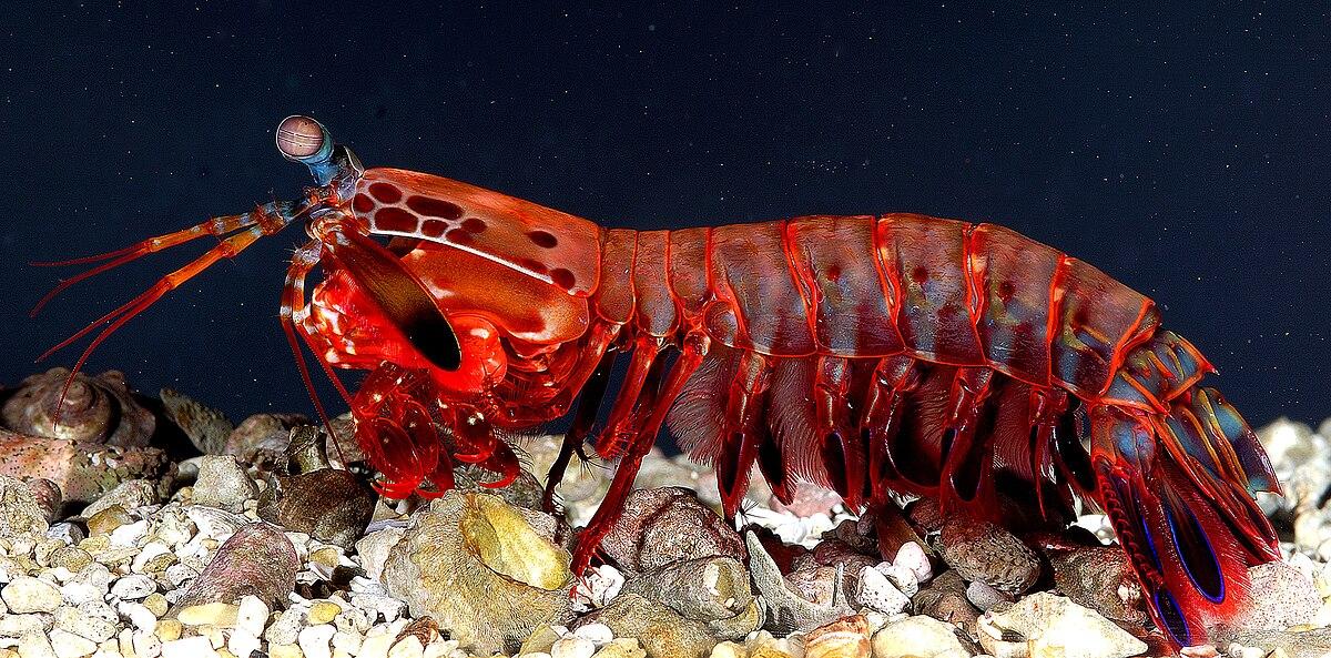Fangschreckenkrebse – Wikipedia