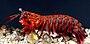 OdontodactylusScyllarus2.jpg