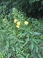 Oenothera biennis002.jpg
