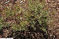 Oenothera perennis 5zz.jpg