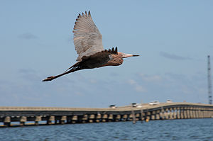 An oiled reddish egret near the water in Grand...