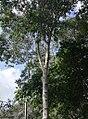 Olea welwitschii - Arusha gardens 2.jpg