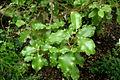 Olearia paniculata J.R.Forst. & G.Forst..JPG