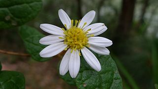 <i>Olearia tomentosa</i> species of plant