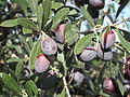 Olives on tree.jpg
