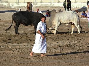 Bull wrestling - Bullfighting in Oman