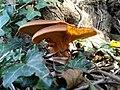 Omphalotus olearius 27012439.jpg