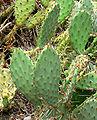 Opuntia littoralis var piercei 2.jpg