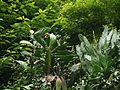 Opuntia monacantha (7787467188).jpg