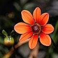 Orange single Dahlia.jpg